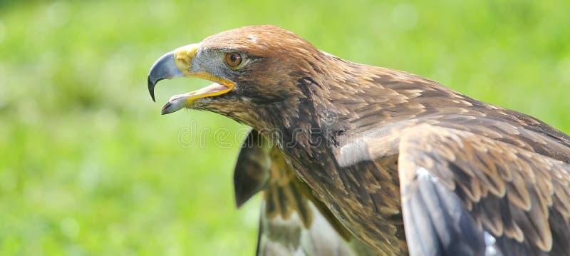 Grand Eagle majestueux et ouvre l'idiot prêt à voler image libre de droits