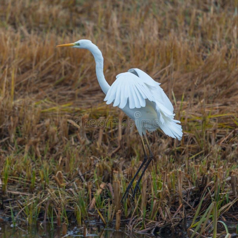 Grand egretta blanc d'oiseau de héron alba au-dessus du roseau, ailes répandues photographie stock libre de droits