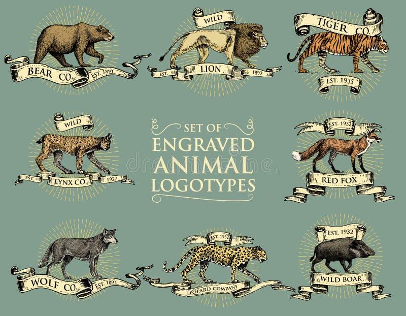 Grand ensemble d'emblèmes de vintage, logos ou insignes avec les animaux sauvages tigre, roi de lion, léopard de lynx de chat sau illustration de vecteur