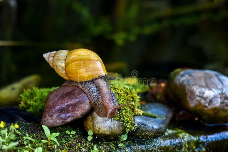 Grand escargot d'Achatina rampant sur la pierre photos stock