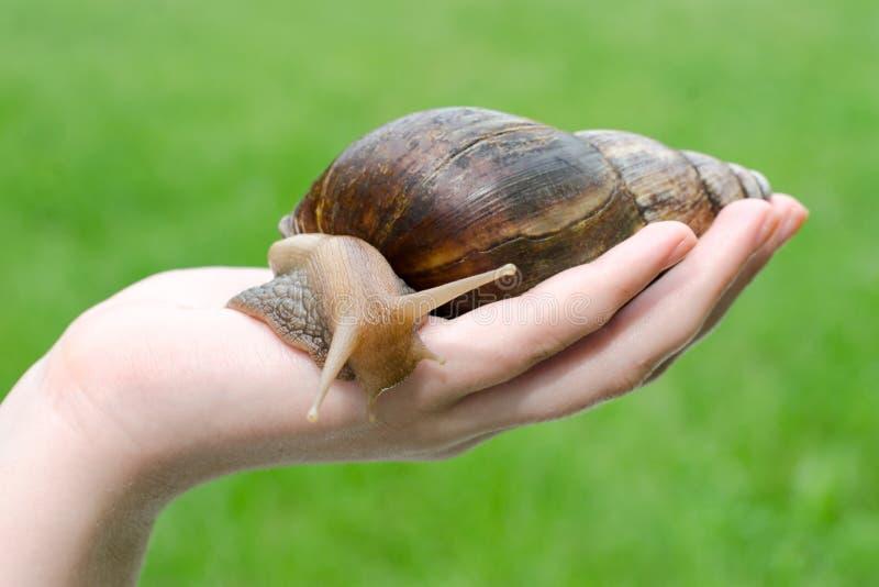 Grand escargot dans la main photos libres de droits