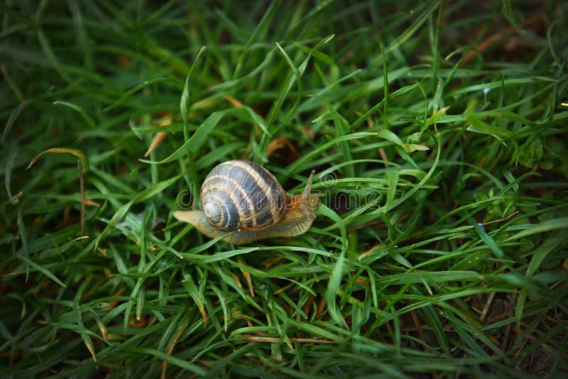 Grand escargot rayé sur le macro tir d'herbe verte photographie stock libre de droits