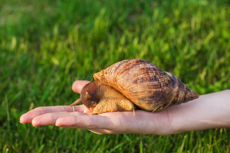Grand escargot se reposant en main images stock