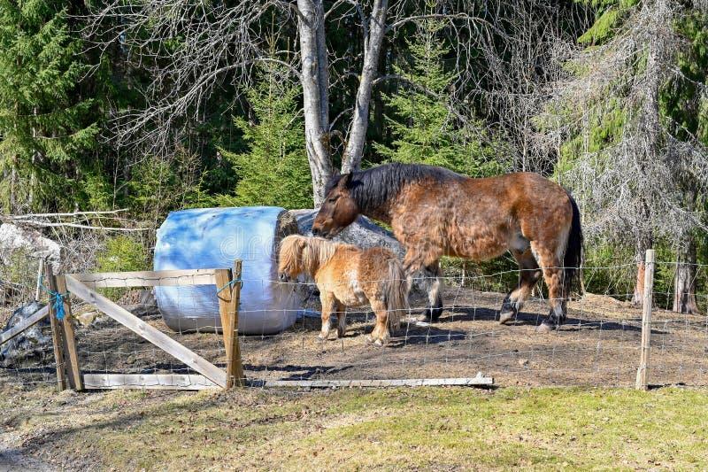 Grand et petit cheval mangeant ensemble en harmonie image libre de droits