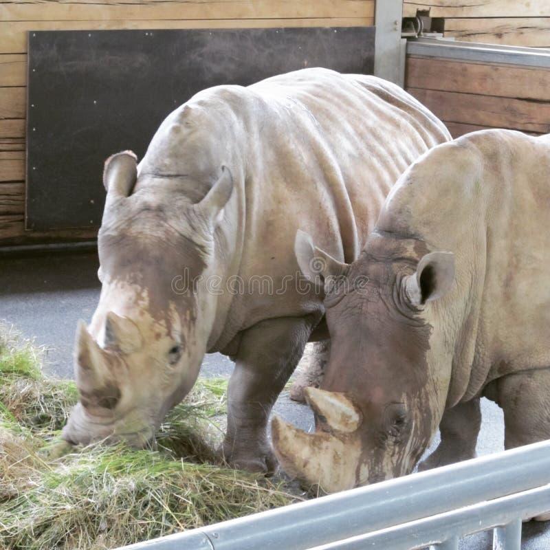 Grand et très fort rhinocéros marchant dans un zoo à Erfurt photos libres de droits