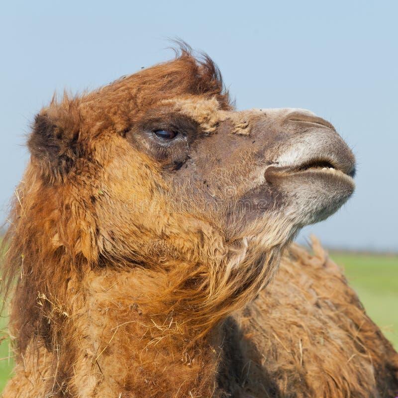 Grand et triste chameau de portrait avec une baisse des larmes dans son turne d'oeil images stock