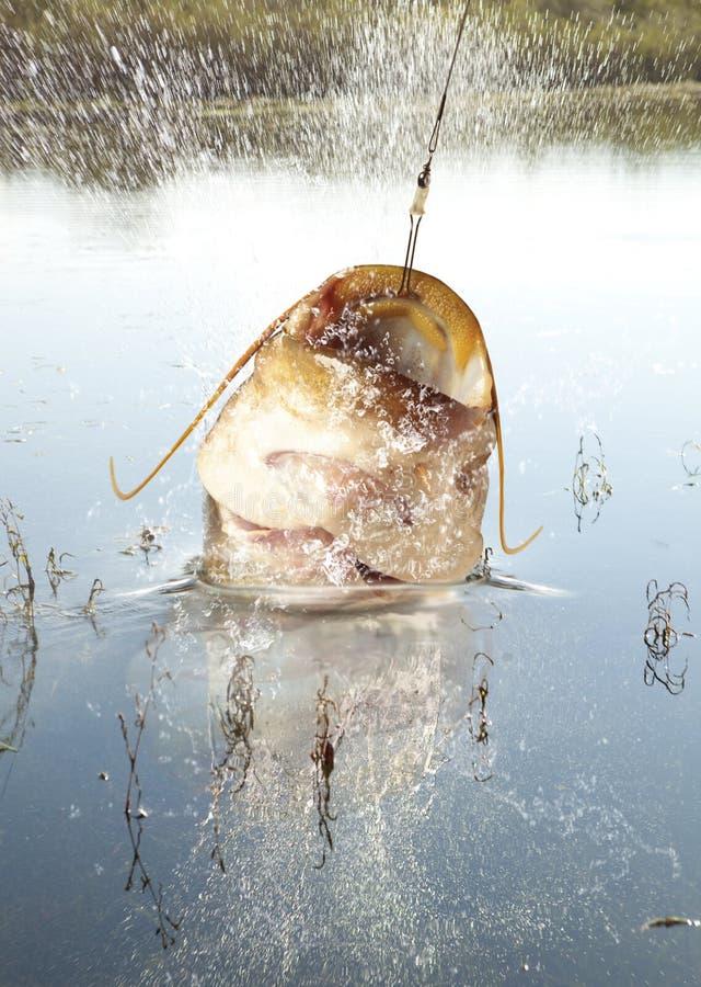 grand fleuve de poisson-chat images libres de droits