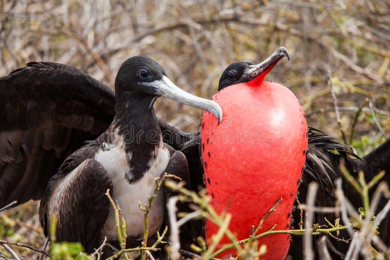 Grand Frigatebird image libre de droits