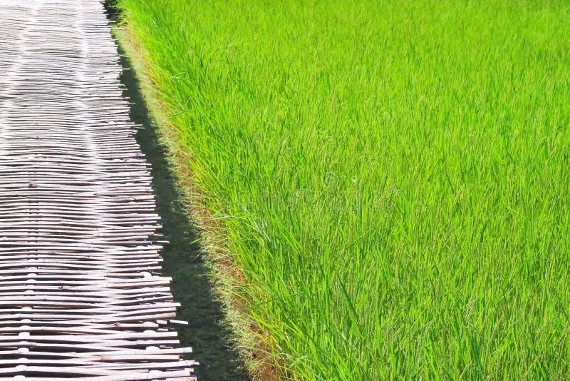 Grand gisement de riz et passage couvert en bambou photos libres de droits