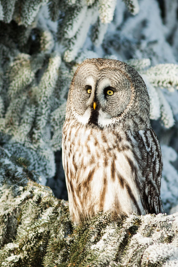 Grand Gray Owl images stock