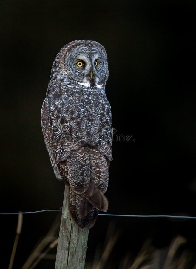 Grand Gray Owl dans le Canada images libres de droits