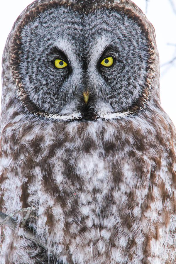 Grand Gray Owl Eyes Portrait Close Up photo stock