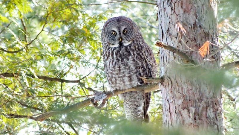 Grand Gray Owl - image courante image stock