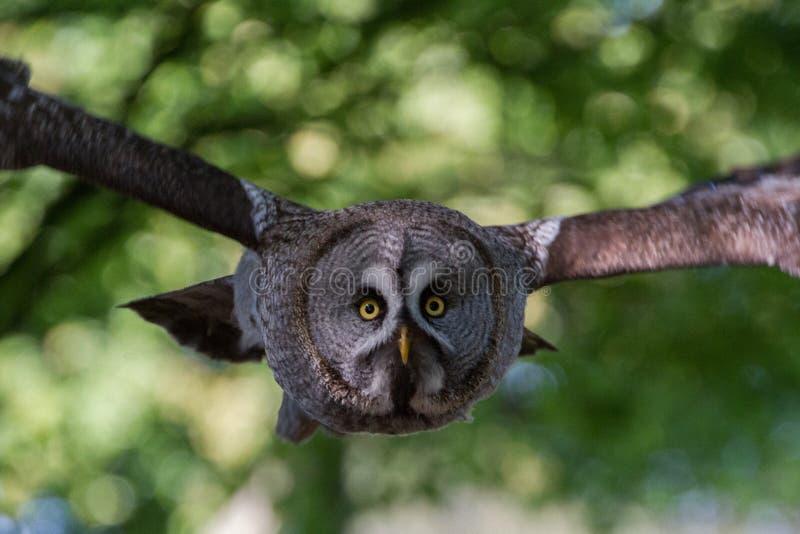 Grand Gray Owl ou grand nebulosa de Grey Owl Strix photo libre de droits