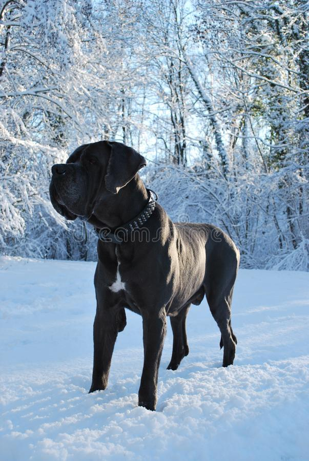 Grand great dane gris photographie stock