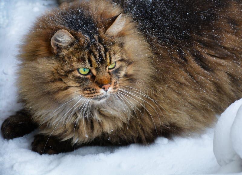 Grand gros chat mignon velu d'oeil vert en hiver photos libres de droits