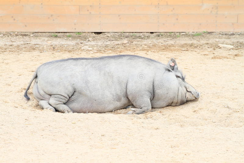 Download Grand gros porc image stock. Image du gris, grand, brin - 76088087