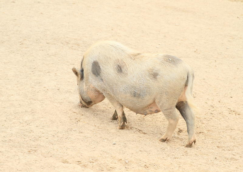 Download Grand gros porc image stock. Image du mensonge, gros - 76088455
