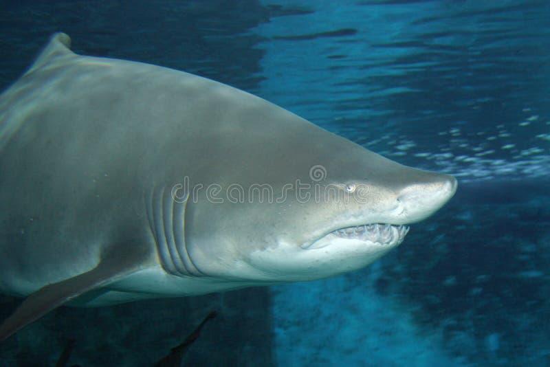 Grand gros requin photo libre de droits