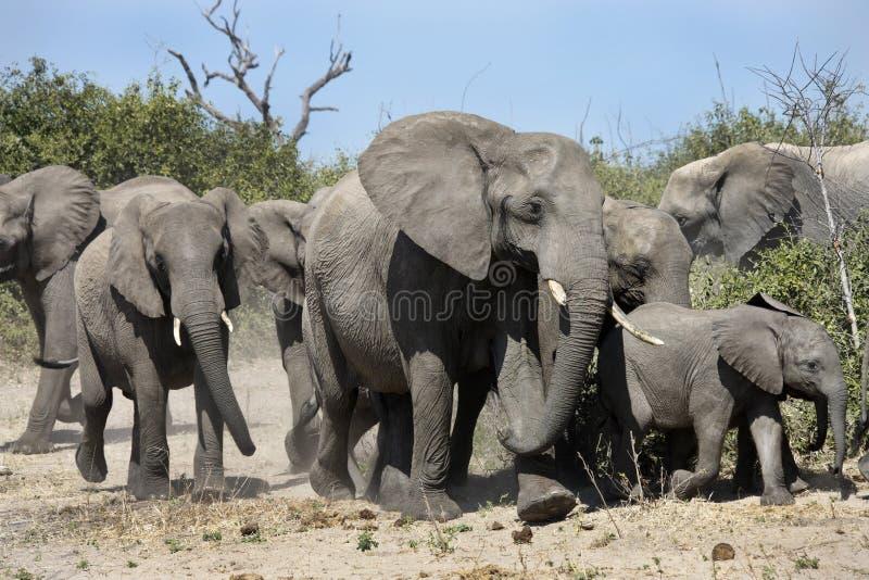 Grand groupe d'éléphants - Botswana photographie stock libre de droits