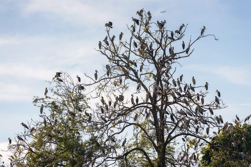 Grand groupe d'oiseau affiché ouvert de cigogne sur l'arbre images libres de droits