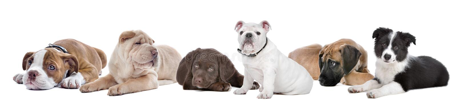 Grand groupe de chiots sur un fond blanc photographie stock