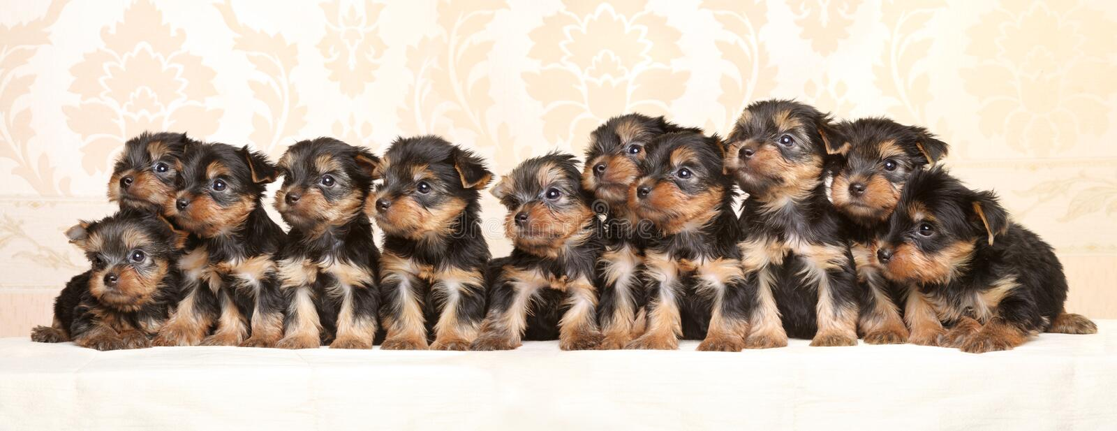 Grand groupe de chiots de Yorkshire Terrier image libre de droits