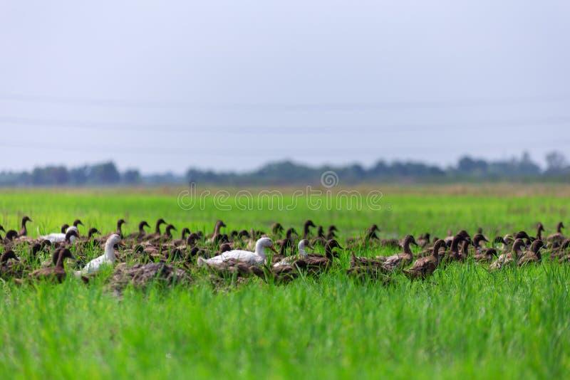 Grand groupe de marche de canards de Brown image stock