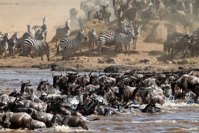 Grand groupe de wildebeest traversant le fleuve Mara photos stock