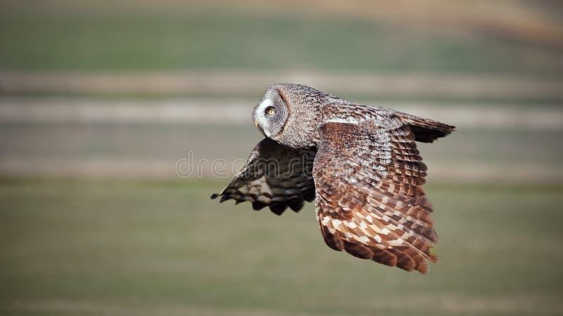 Grand Grrey Owl In Flight photographie stock