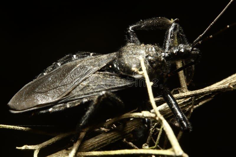 Grand hémiptère même également connu sous le nom d'insecte vrai image libre de droits