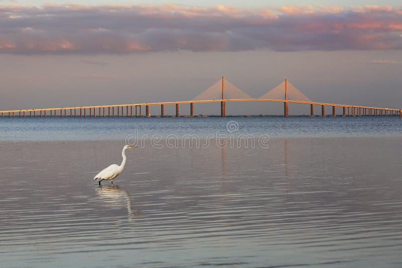 Grand héron avec le pont de Skyway de soleil à l'arrière-plan photographie stock