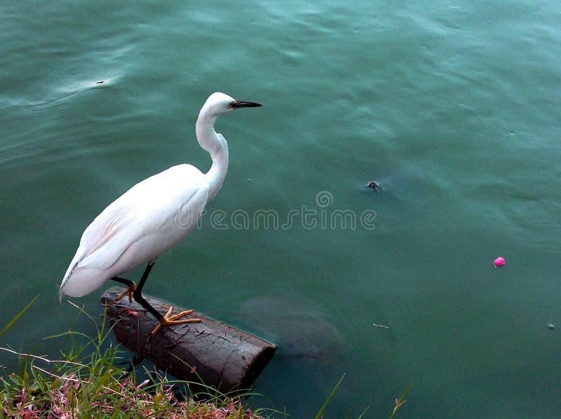 Grand héron blanc photos stock