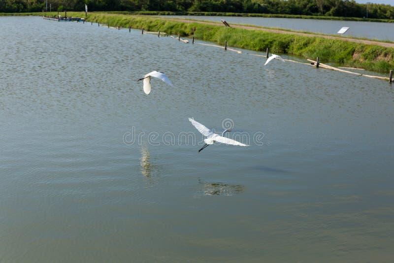 Grand héron blanc au-dessus du lac images stock