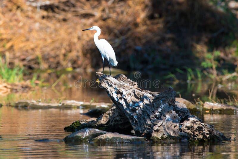 Grand héron blanc en photographie scénique images libres de droits