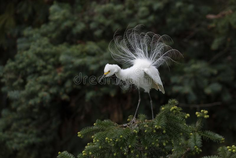 Grand h?ron blanc montrant multipliant le plumage photos stock