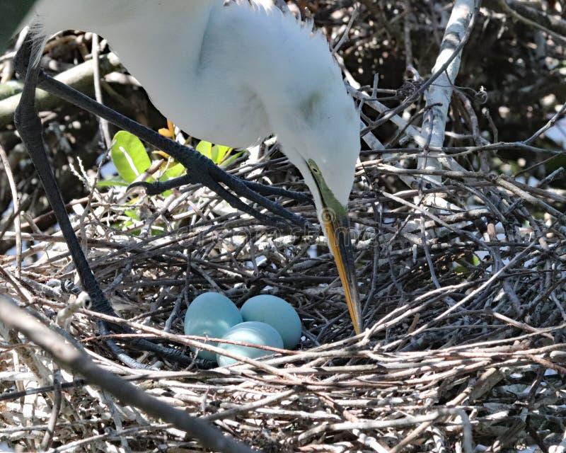 Grand héron blanc tendant trois oeufs dans le nid photographie stock libre de droits