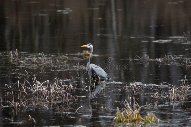Grand héron bleu dans un lac photo libre de droits