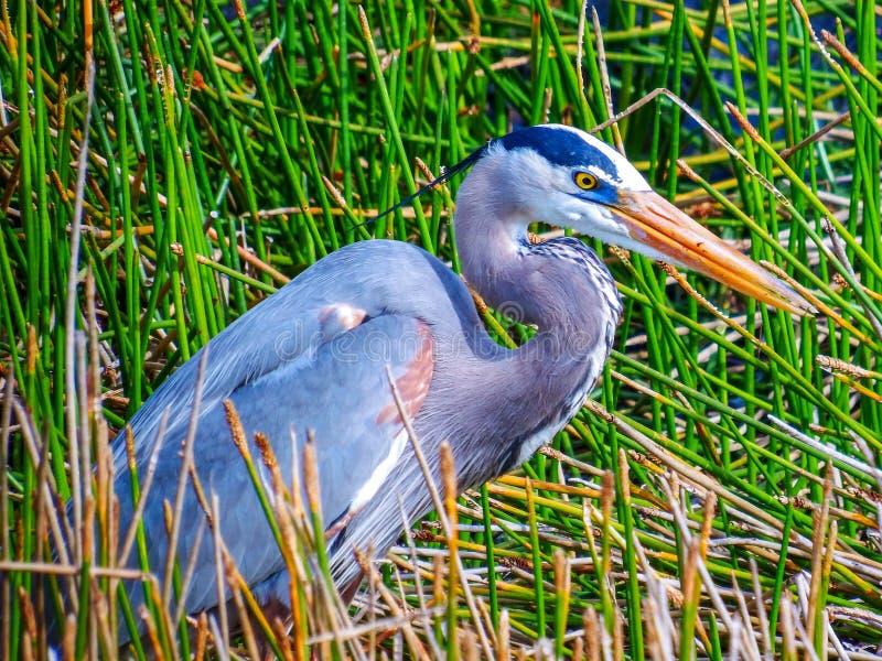 Grand héron bleu, en multipliant le plumage, chassant dans un étang de marais de marais photographie stock
