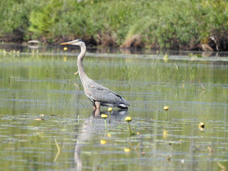 Grand héron bleu se tenant dans un marais sur le lac perdu image stock