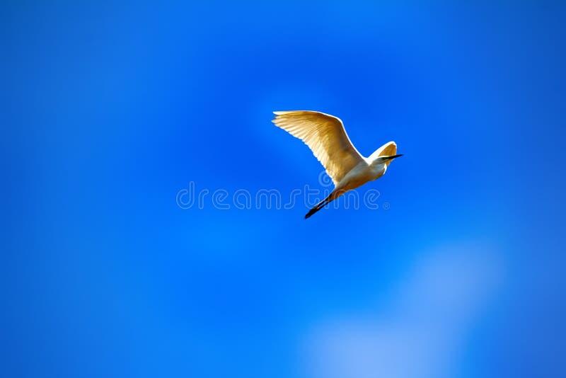 grand héron (Egretta alba) en vol image stock