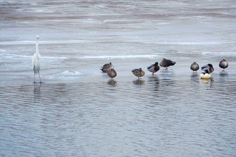 Grand héron et canards sauvages photo libre de droits