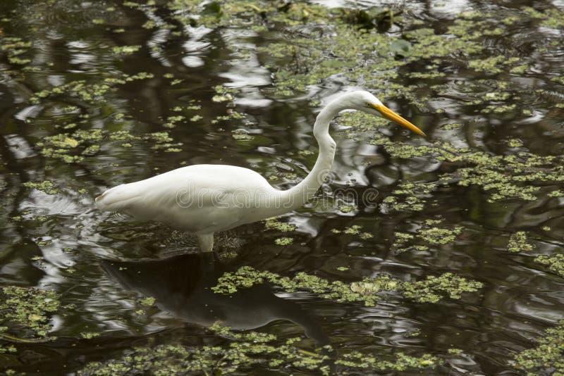 Grand héron pataugeant en eau peu profonde des marais de la Floride images libres de droits