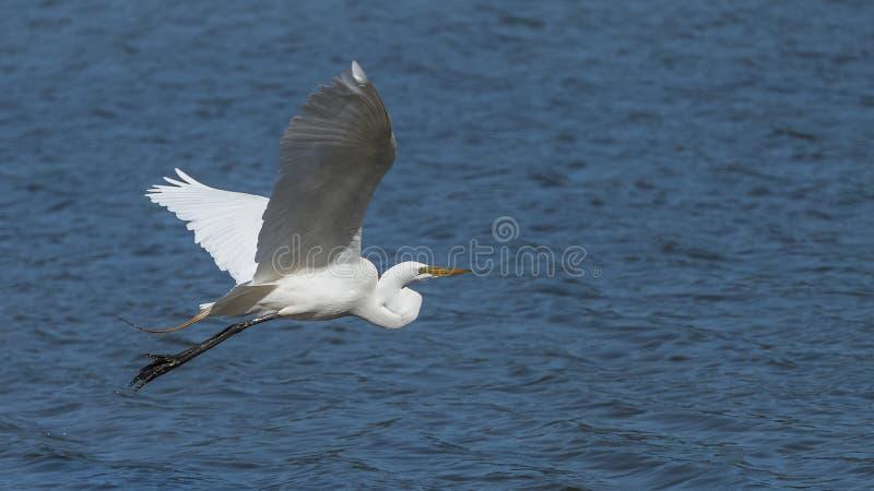Grand héron, vol d'oiseau images stock