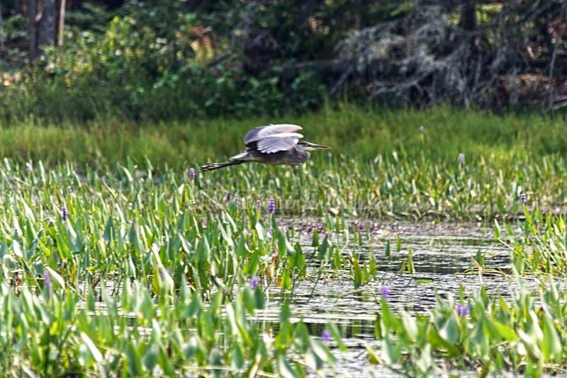 Grand héron volant au-dessus de la haute herbe photo stock