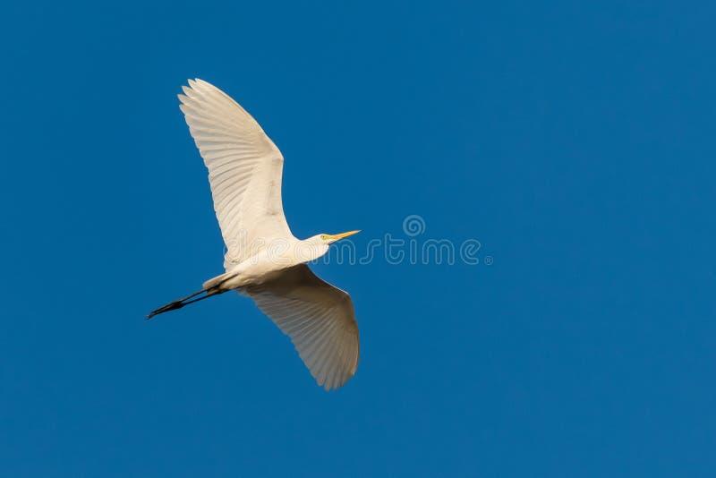 Grand héron volant avec le ciel bleu comme fond image libre de droits