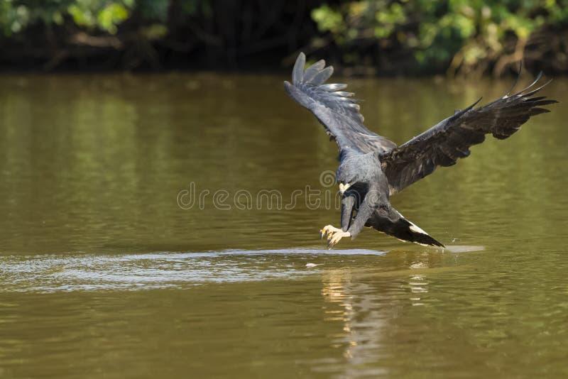 Grand Hawk Approaching Fish noir en rivière photographie stock