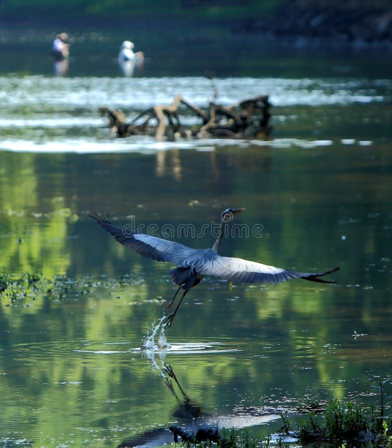 Grand herron bleu en vol image libre de droits