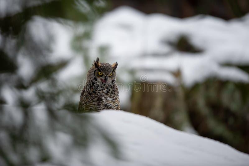 Grand hibou à cornes dans la forêt d'hiver photo libre de droits