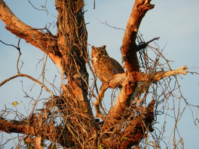 Grand hibou à cornes de la Floride images stock